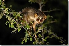 "The only nocturnal primate in south India. In Karnataka, they are known as  ""kaadupaapa"" meaning ""forest baby"". These primates roll themselves up into a ball and sleep in the trees during the day and come out to feed only after dusk. They are primarily insectivorous but also eat bird eggs, reptiles, berries, leaves and flower buds."